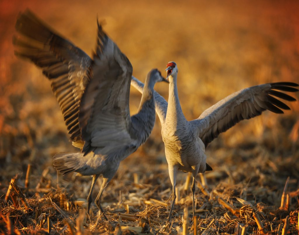 Each spring, more than 600,000 sandhill cranes stop along Nebraska's Platte River valley to rest and refuel before flying farther north to breeding grounds. (Photo by Corbey R. Dorsey, UNK Communications)
