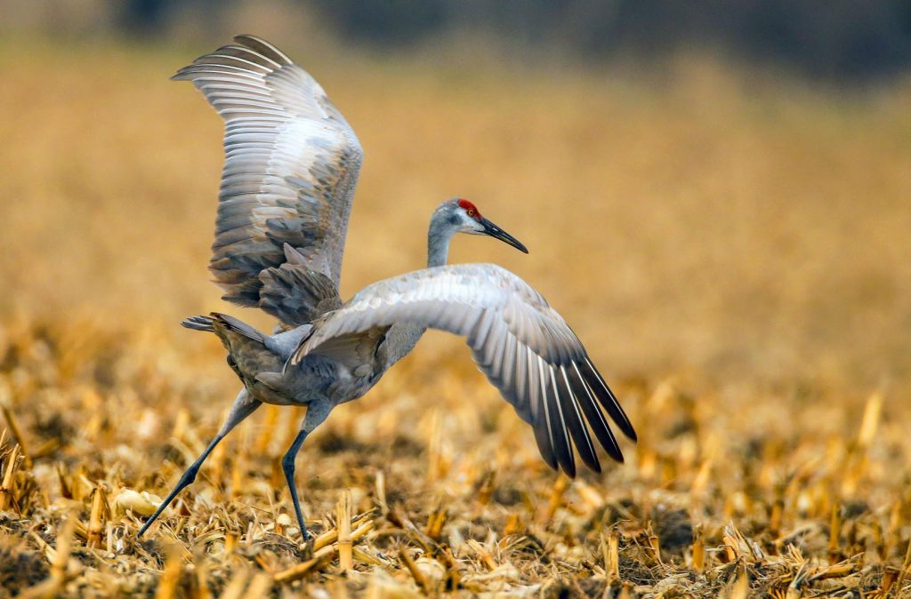 An estimated 500,000 to 600,000 sandhill cranes and other birds stop near Kearney during the height of crane season, which runs from late February through early April along a 90-mile stretch of the Platte River. (Photo by Corbey R. Dorsey, UNK Communications)