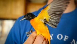 Oriole Research 2