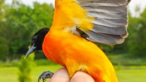 Oriole Research 7