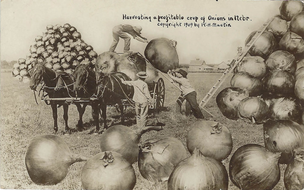 "Nebraska's onion crop was a bountiful one, according to this ""exaggeration postcard"" from 1909."