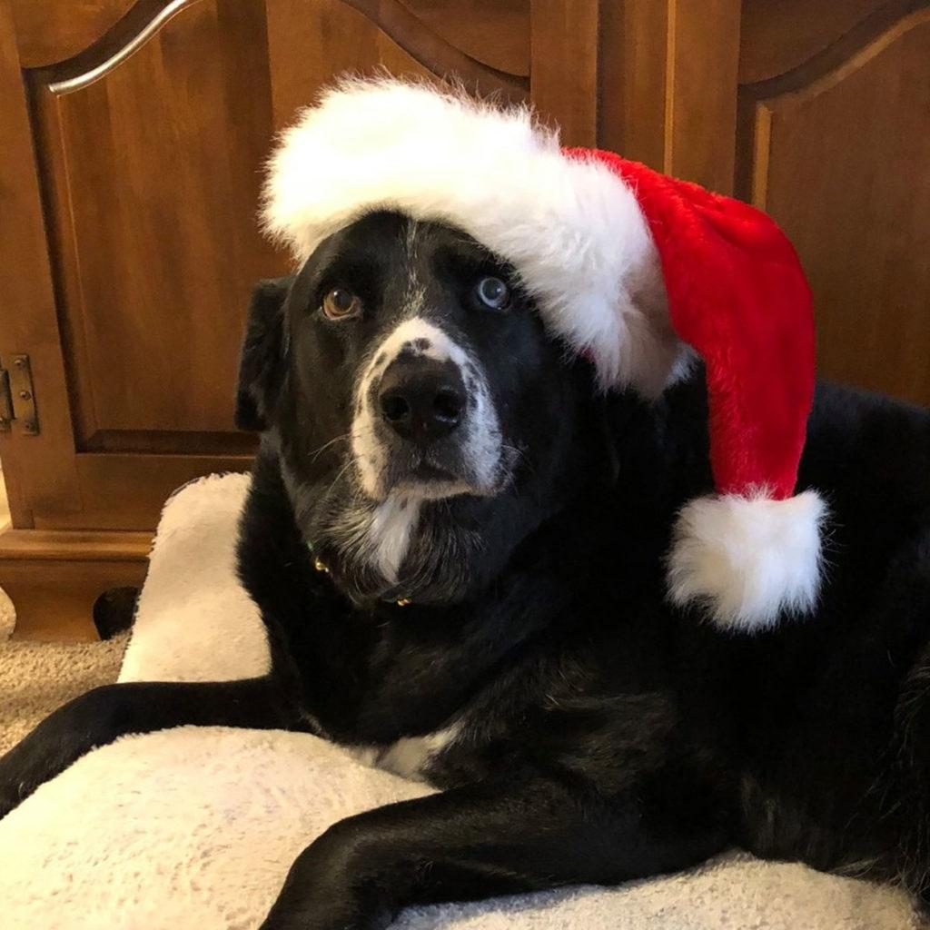 Bill Wozniak's rescue dog Jackson celebrating the holidays.