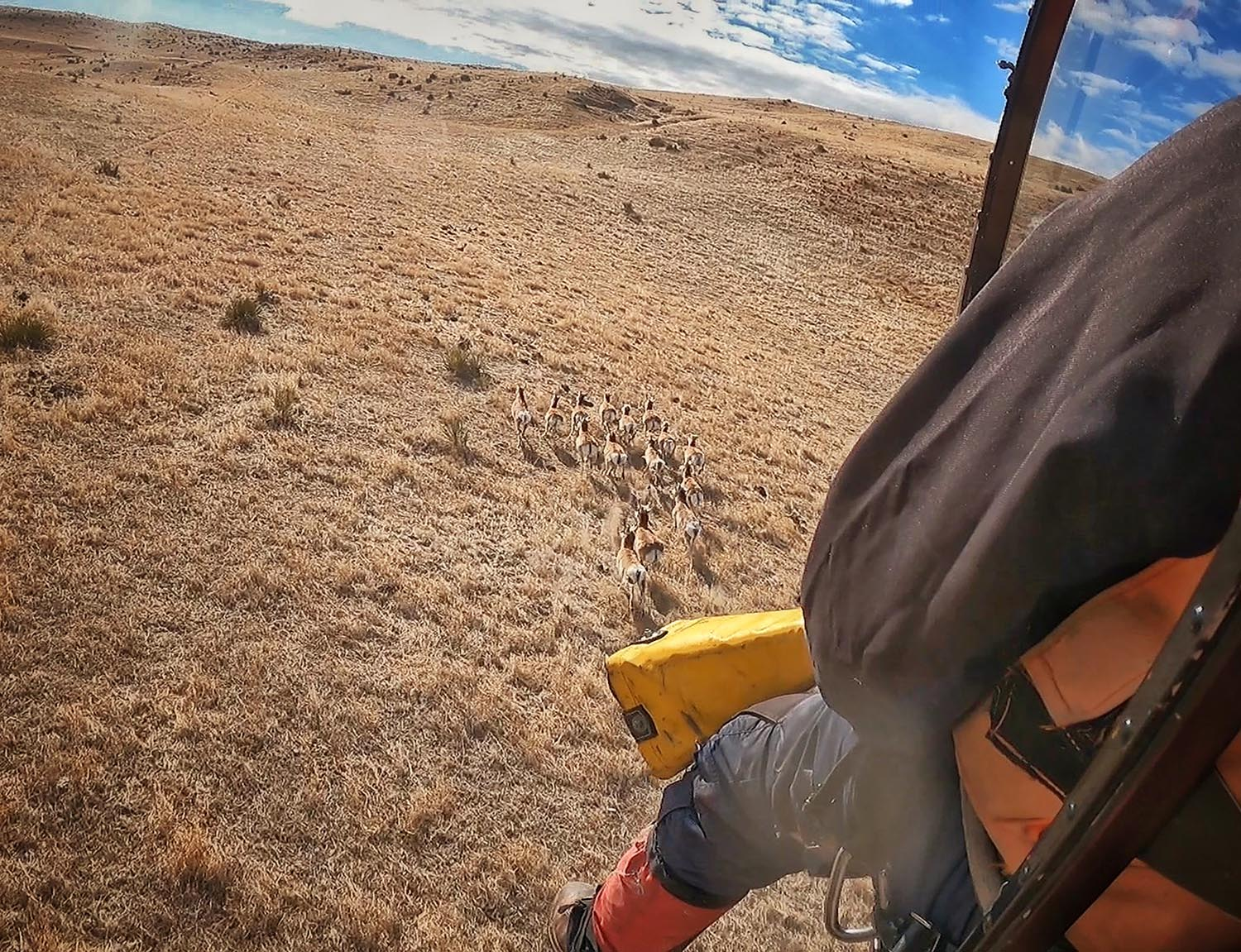 A still from a GoPro camera mounted in a helicopter shows a band of pronghorn running across western Nebraska rangeland. Earlier this year, researchers captured 80 pronghorn and placed GPS radio collars on them. The released pronghorn will be tracked over two years to provide fine-scale information about their survival and movement across the Nebraska Panhandle and anywhere else they roam. (Luke Meduna/Nebraska Game and Parks Commission)