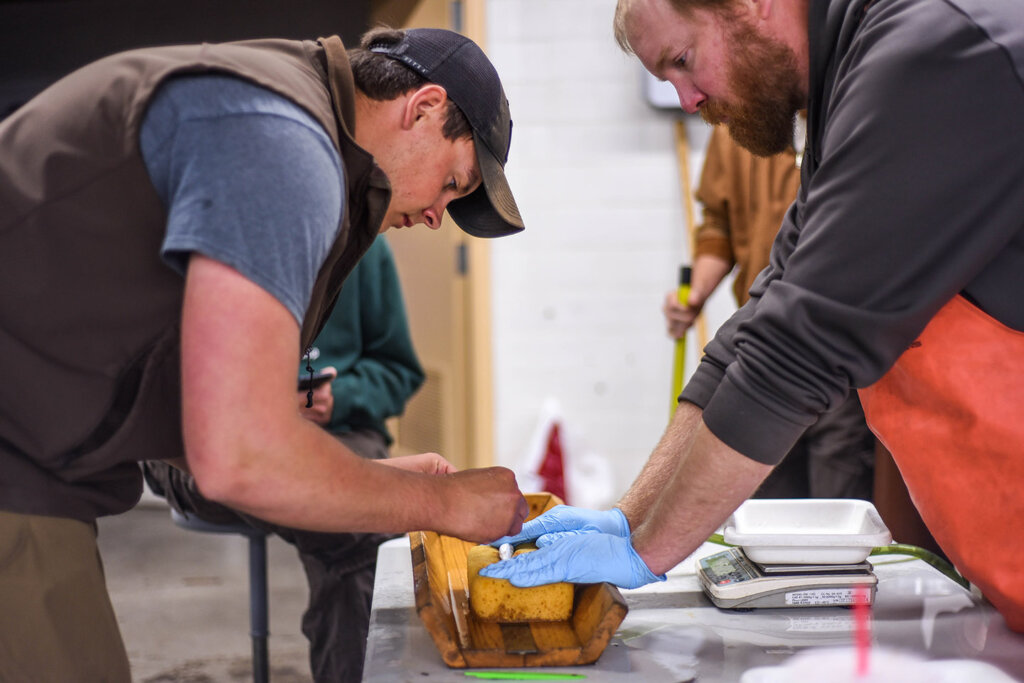 South Dakota Game, Fish and Parks employees Dylan Gravenhof, left, and Mike Smith implant an acoustic tag into a juvenile Chinook salmon raised at the Cleghorn Springs hatchery in Rapid City. The tags are being used to track 50 salmon released earlier this month at Lake Oahe.