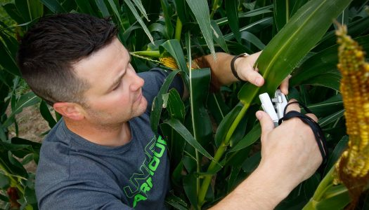 UNK biology student Joe Haag of Grand Island conducts research in a cornfield north of Kearney. Haag's work focuses on corn crop productivity and climate change. (Photo by Corbey R. Dorsey, UNK Communications)